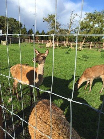 Athlone, Irlanda: deer