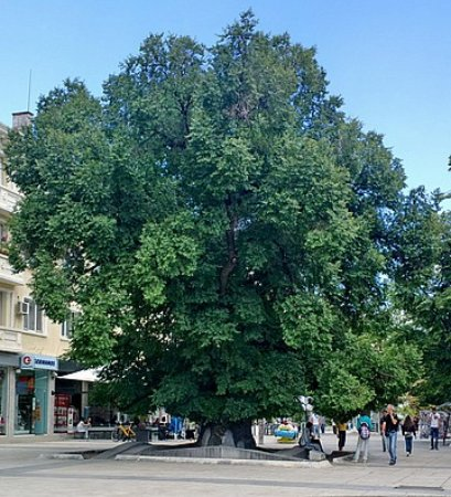 Sliven, Bulgaria: The Old Elm