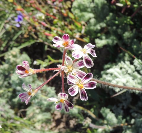 Darling, Sør-Afrika: Pelargonium triste - Kaneeltjie