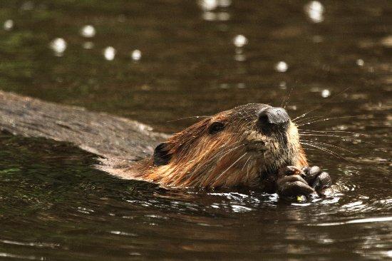 Berwick, UK: Beaver