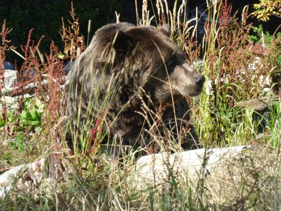North Vancouver, Canadá: Grizzly Bear