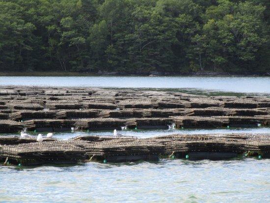 Damariscotta, ME: oyster farm