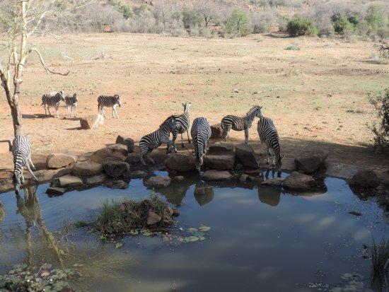 Kwa Maritane Bush Lodge: Zebra at waterhole- view from resturant