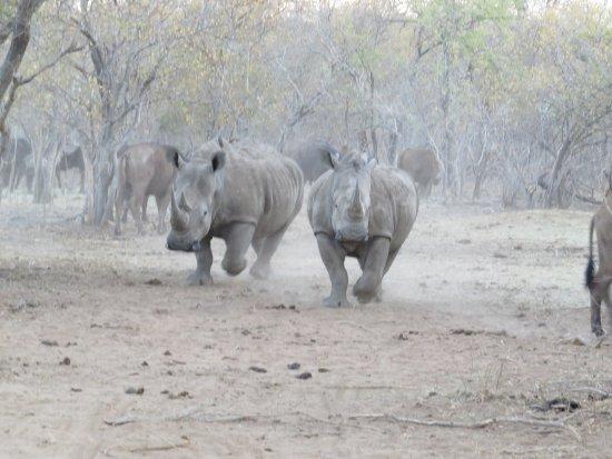 Kapama Southern Camp: Rhinos approaching us