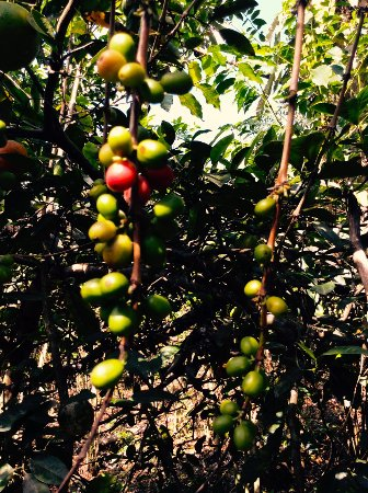 Quellomayo, Peru: Coffee growing on farm (farm tour)