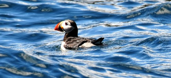 Englishtown, Канада: Puffin in the water