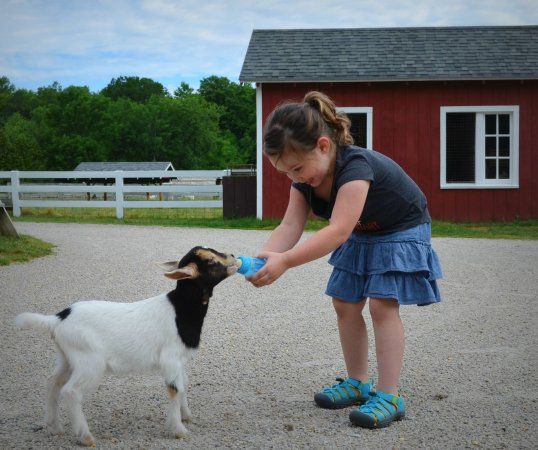 How Much Is A Baby Goat >> How Much Fun Is It To Feed A Baby Goat A Lot Picture Of