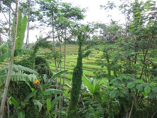 Penebel, Индонезия: View from shower in men's dormitory