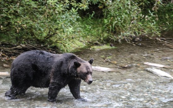 Hyder, AK: black grizzly looking for salmon