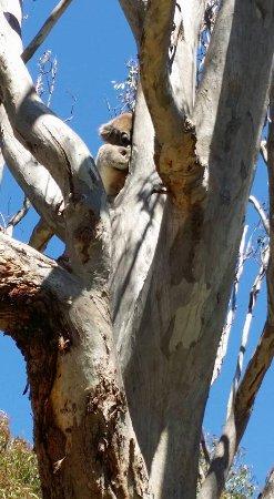 Yanchep, Australia: Koala nap time