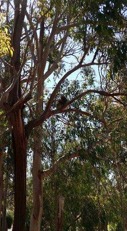 Yanchep, Australia: Sleepy koala
