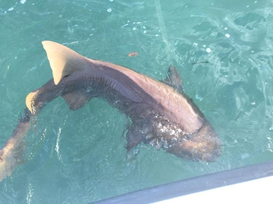 St Simons Island, Georgien: What an awesome Lemon shARK WE BROUGHT IN!