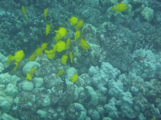 Honaunau, Hawái: Pretty yellow fishies. Lots n lots