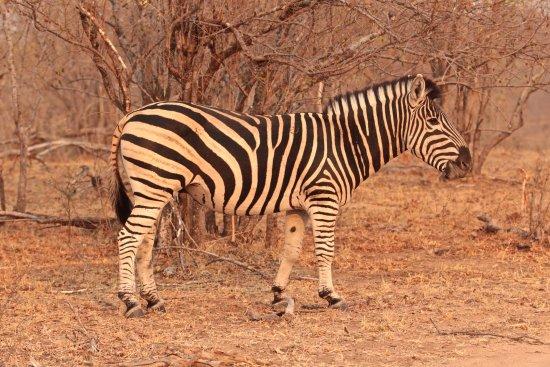 Ulusaba Safari Lodge: Zebra