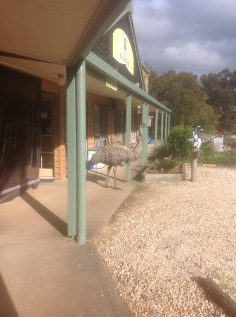 Mountain View Motor Inn & Holiday Lodge: The emus caused some excitement