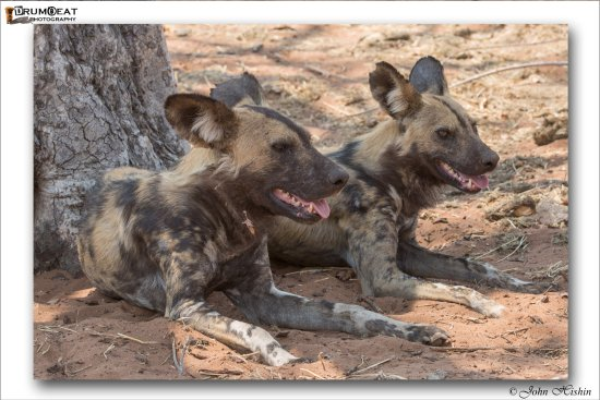 Ngoma Safari Lodge: Wild Dogs enroute to the lodge.