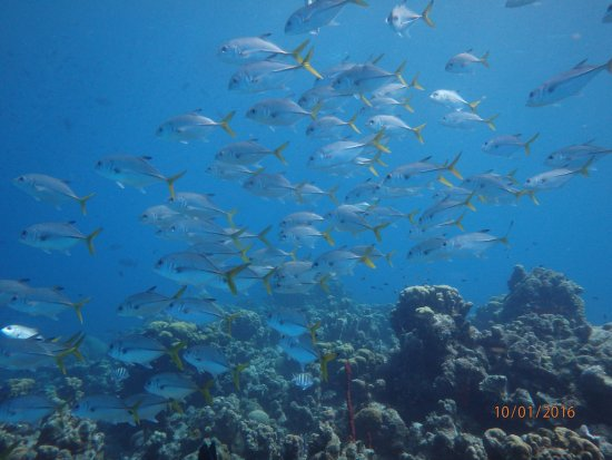 George Town, Grand Cayman: Horse-eye Jacks at our reef Casuarina Point
