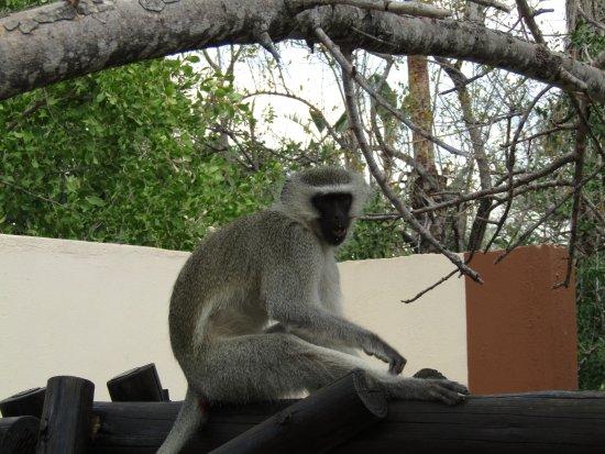 Balule Nature Reserve, Güney Afrika: Vervet Monkey