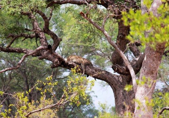 Sabie, Sydafrika: Leopard Tree