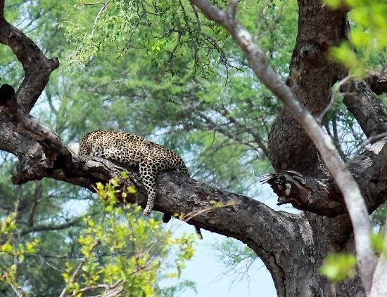 Sabie, Sydafrika: Sleeping Leopard
