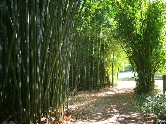 Kin Kin, Αυστραλία: Amazing bamboo greeted us just outside of Cooran