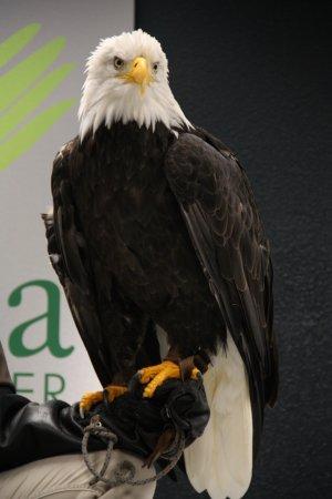 Alaska Raptor Center: Sitka the Eagle