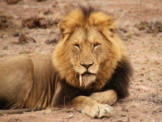 Lion Sands River Lodge: male lion