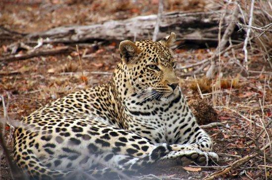 Lion Sands River Lodge: young female leopard