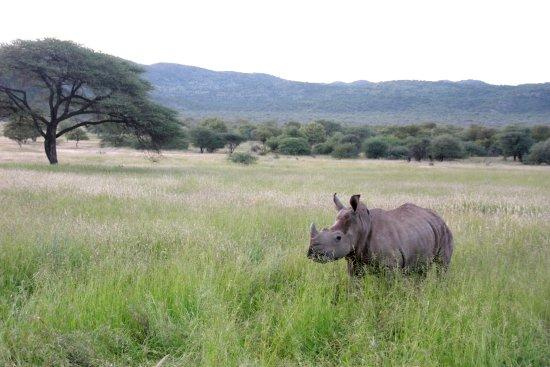 Tsumeb, Namibia: One of the white rhinos at Ghaub Nature Reserve & Farm