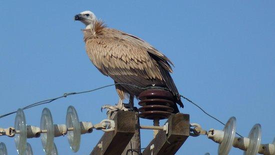 Camari Garden Apartments: Vulture outside our balcony.1
