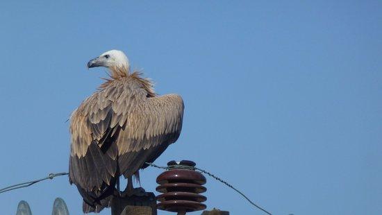 Camari Garden Apartments: Vulture outside our balcony.2