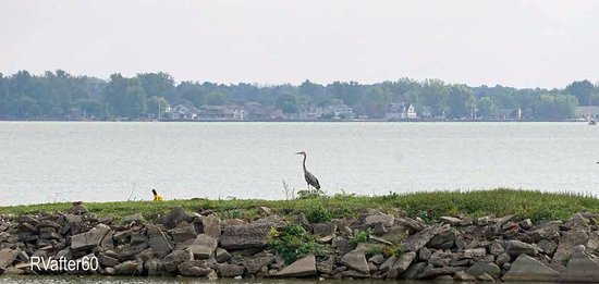 Saint Marys, OH: I saw a number of herons and smaller shore birds.
