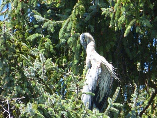 Bay City, OR: Resident  Heron