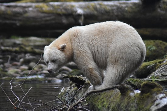Garibaldi Highlands, แคนาดา: Spirit Bear