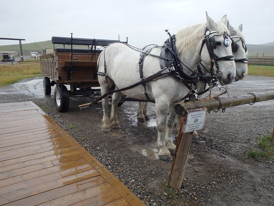 Bar U Ranch National Historic Site: what a beautiful team of Percherons