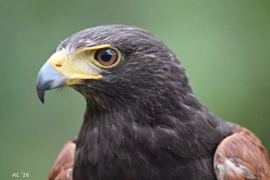 Manchester, VT: The magnificent Monty, the Harris Hawk.