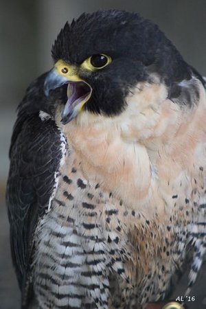 Manchester, VT: Peregrine Falcon. His bark is bigger than his bite.