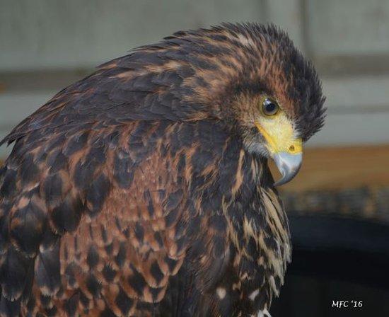 Manchester, VT: Retired hawk. Just hanging around.