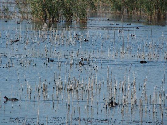 La Valle - Naturalistic Oasis: Eurasian coots in abundance
