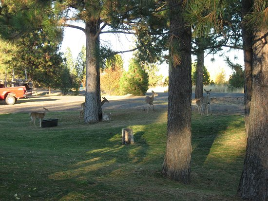 Ukiah, OR: Deer on the grounds