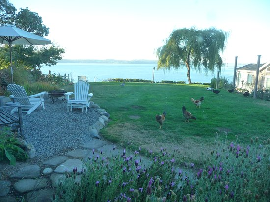 Vashon, WA: morning visitors, chickens and ducks!