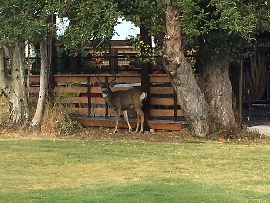 Buck in downtown sisters and RV spots of Sister's Creekside Campground