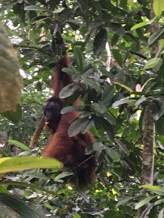 Sukau, Malaysia: Orangutan just 2 meters away during the morning boat tour!