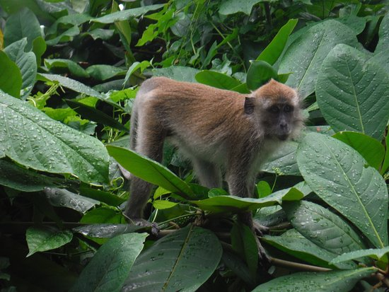 Banyan Tree Bintan: 夕方、野ザルが部屋の周りを散歩してました。