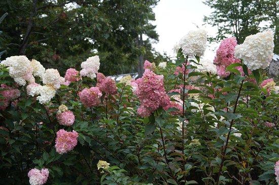 Coastal Maine Botanical Gardens: Hydrangea Garden