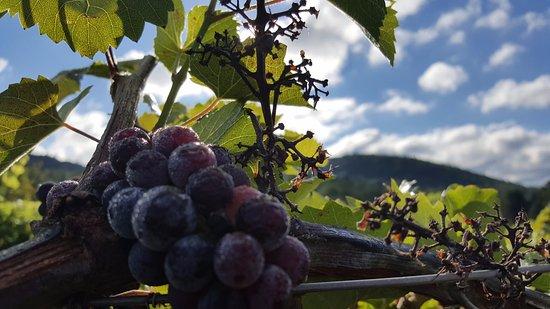 Proctorsville, VT: Morning dew on the vineyard