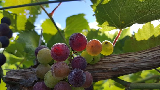 Proctorsville, Βερμόντ: Take a walk through the stunning vineyard