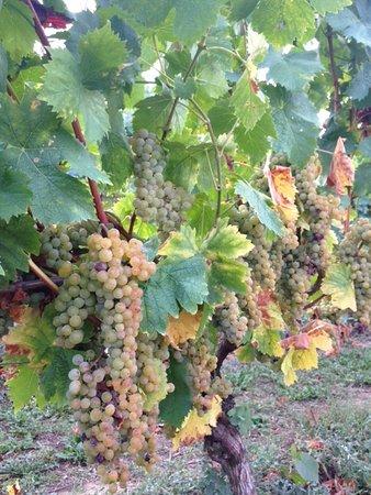 dal filare dei vitigni
