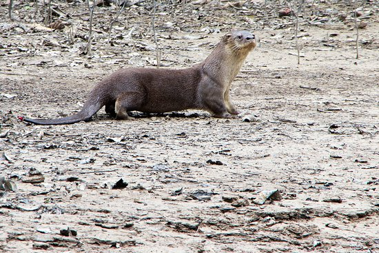 Amazonia Expeditions' Tahuayo Lodge: River otter