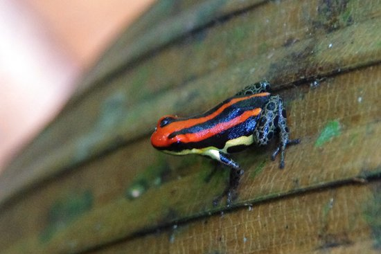 Amazonia Expeditions' Tahuayo Lodge: Poison dart frog
